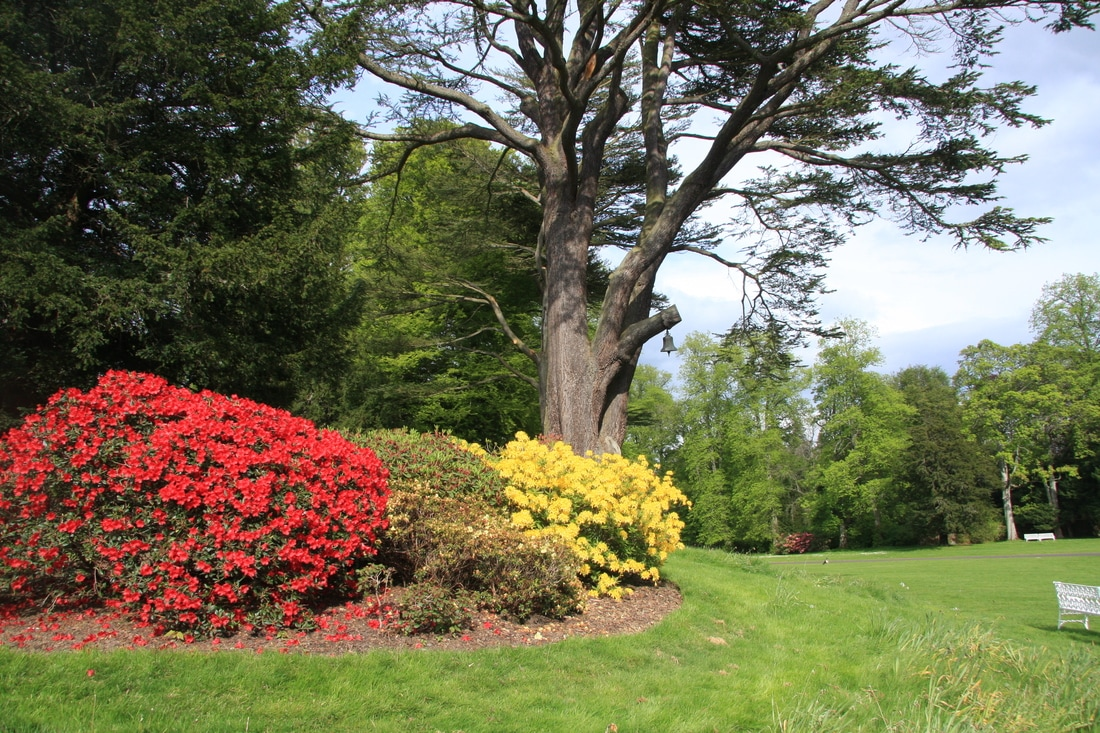 The azaleas blooming at Scone Palace